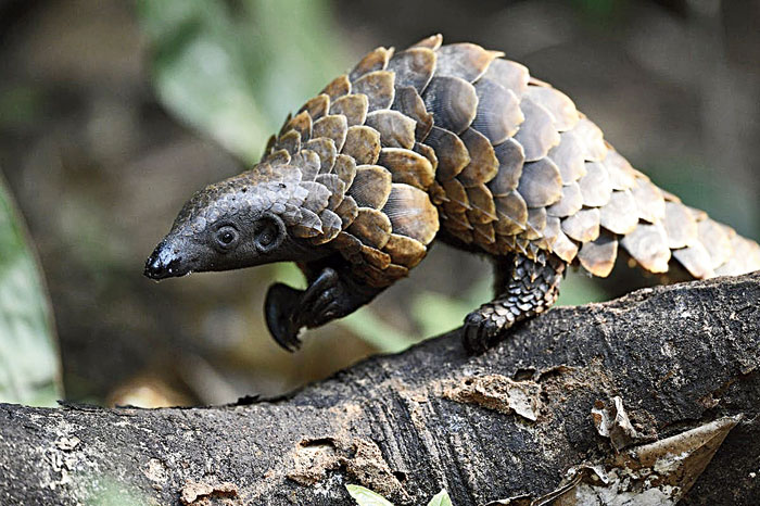 The pangolin, also known as the scaly anteater, is a very endangered animal. They are highly poached, and in the last seizure, they seized 12,000 already-scaled pangolins. We will definitely be talking about how the demand for animal parts is one of the major contributing factors of their extinction