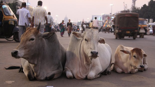 Ministry offers to fund research projects to find ingredients in dung, milk and urine of cows