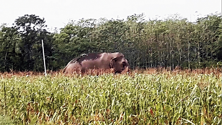 A wild tusker that came out of the Buxa Tiger Reserve on Monday
