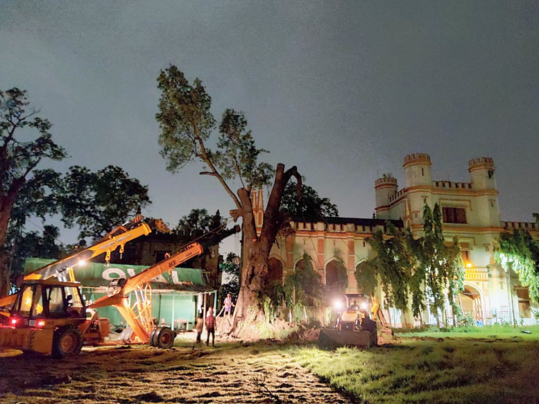 One of the two mahogany trees back on its feet on Friday evening. The two trees fell during Cyclone Amphan on May 20.