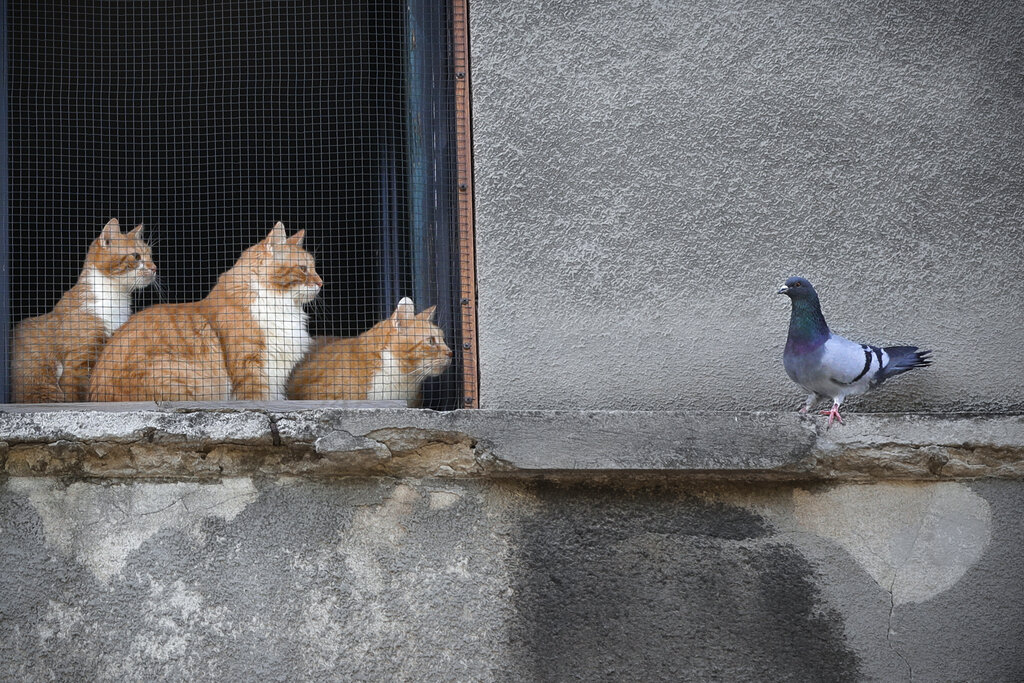 Cats stare at a pigeon from inside a window in Bucharest, Romania, Thursday, April 23, 2020.