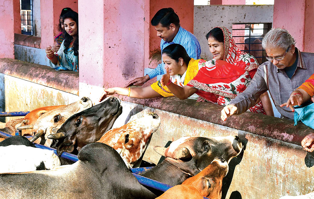Devotees feed cows on 'Gopastami' in Bikaner. Since 2017, cows have allegedly been entitled to ambulance services in Uttar Pradesh. Now that winter is setting in, the Ayodhya Municipal Corporation is reportedly getting jute coats stitched for 1,200 cattle at one of its cow shelters.