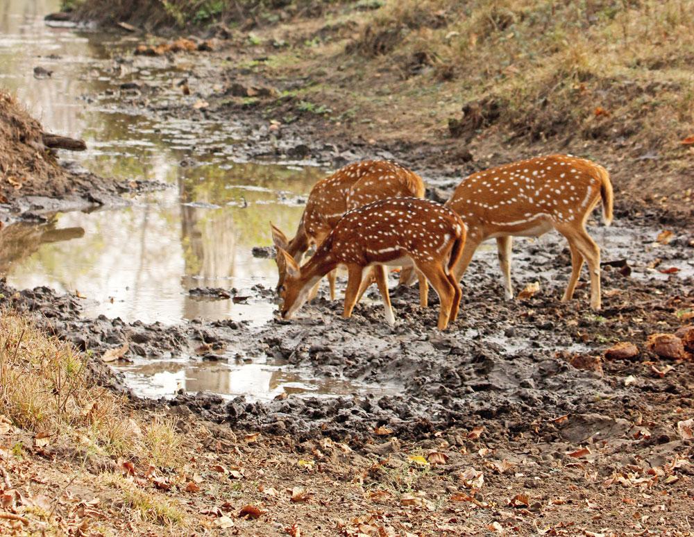 Alert spotted deer drinking water