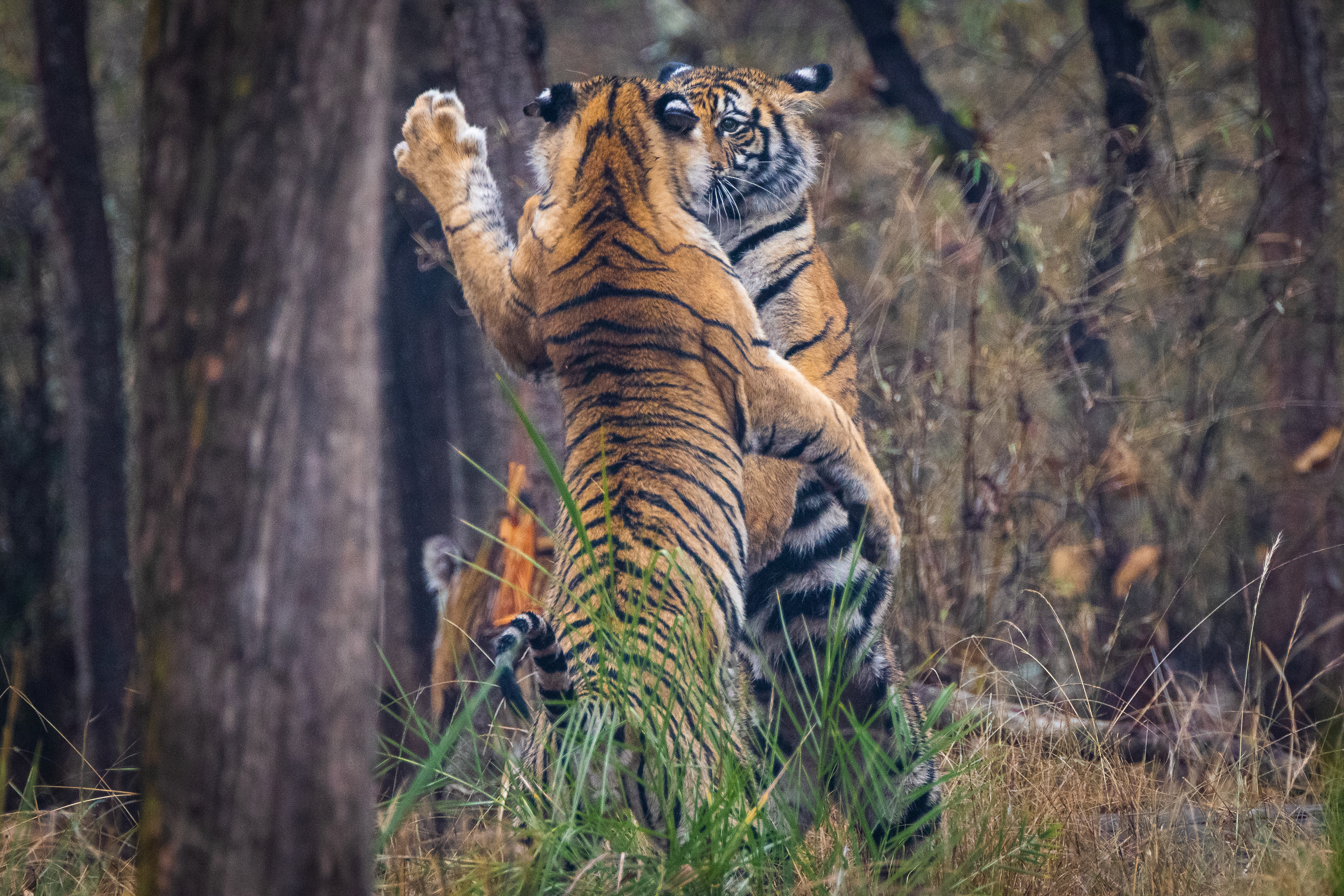 Play fighting is an integral part of a tiger's growing up years. These mock battles with siblings help hone important skills like taking down prey on a hunt