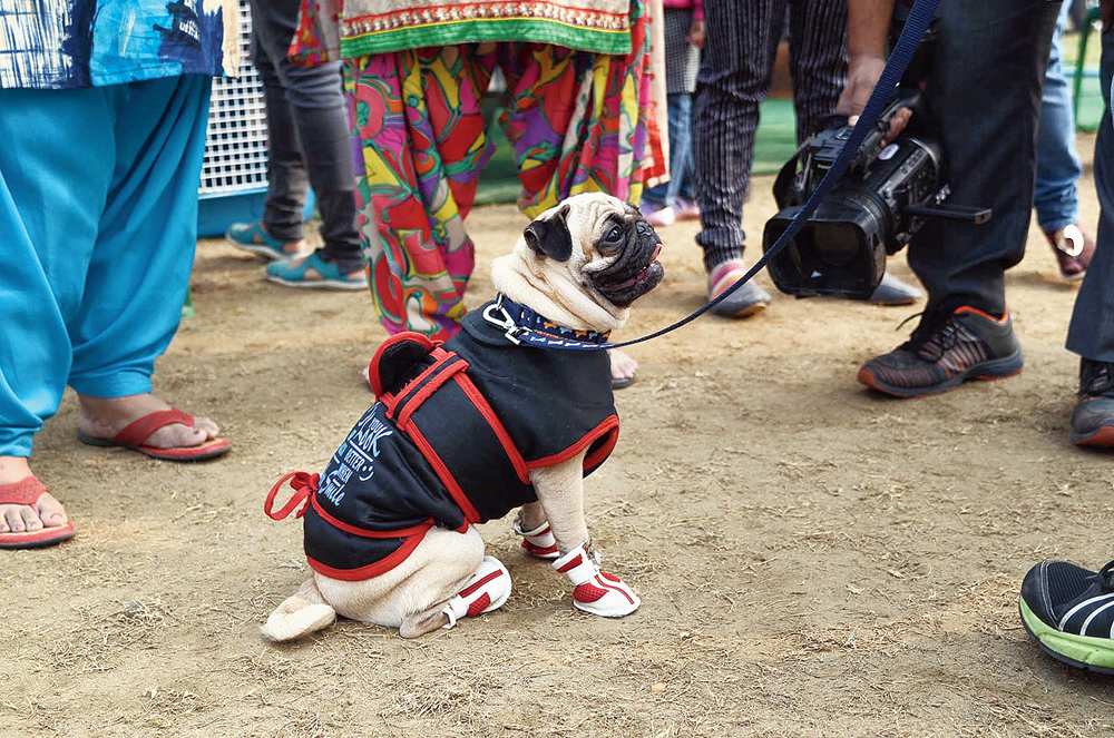 A Pug, dressed for the winters, at a dog show in Salt Lake