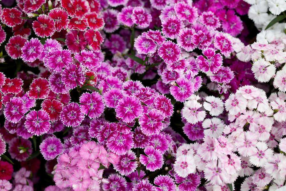 Dianthus (Sweet William):  Double or single fragrant, colourful flowers are born at the top of the branches in rounded clusters, making this plant suitable for beds, borders, rock gardens or window boxes.