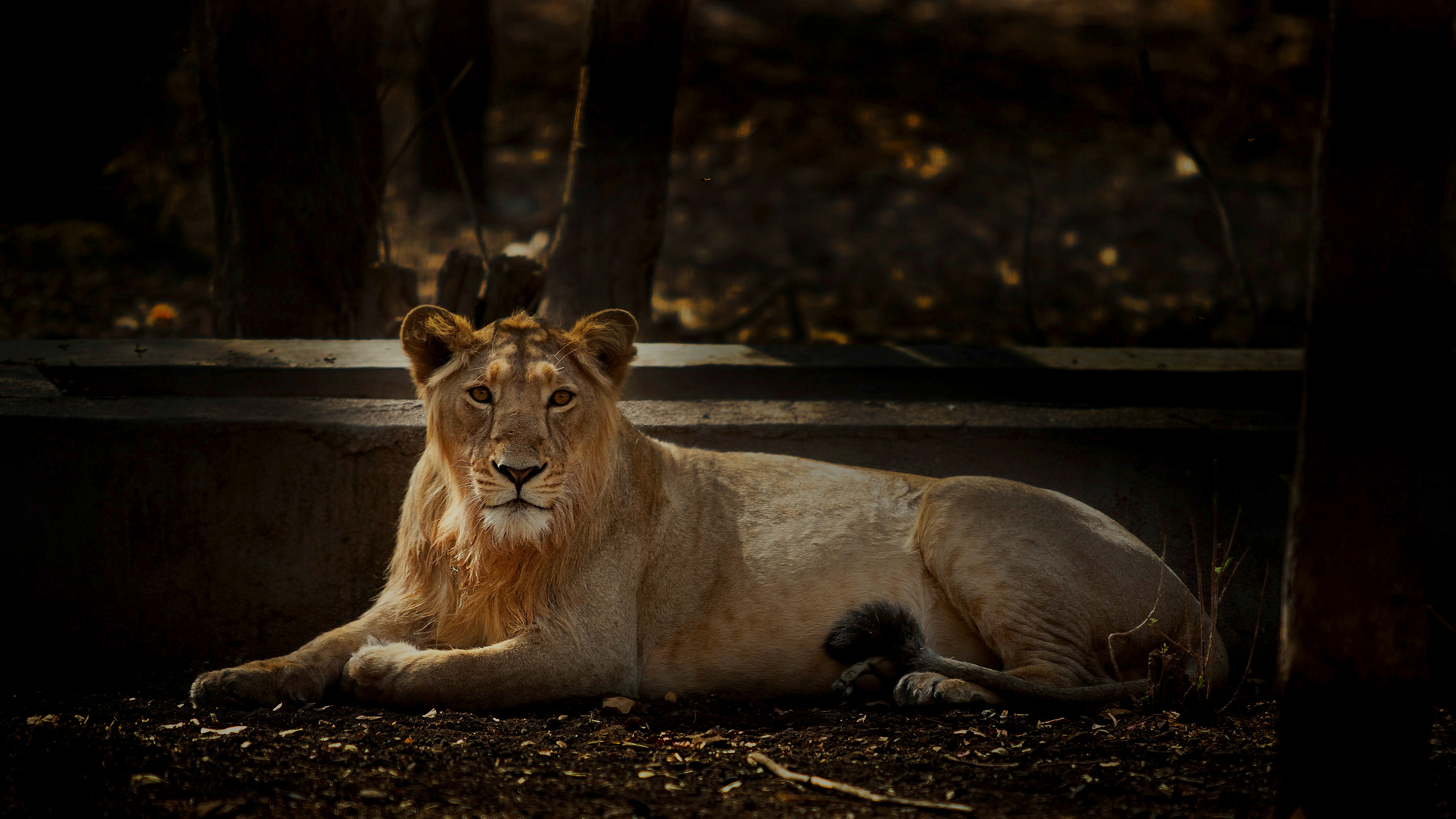 A sub-adult male lion rests by a water trough in heart of Gir National Park. Male lions tend to stay with the pride till maturity, after which they strike out on their own