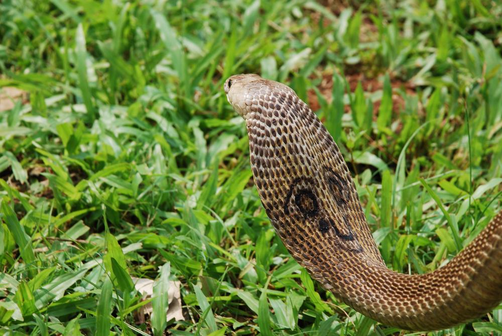 An Indian cobra.