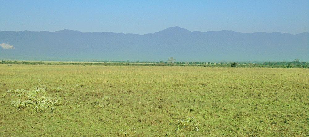Chromolaena odorata flowering in the Terai grasslands of Manas National Park