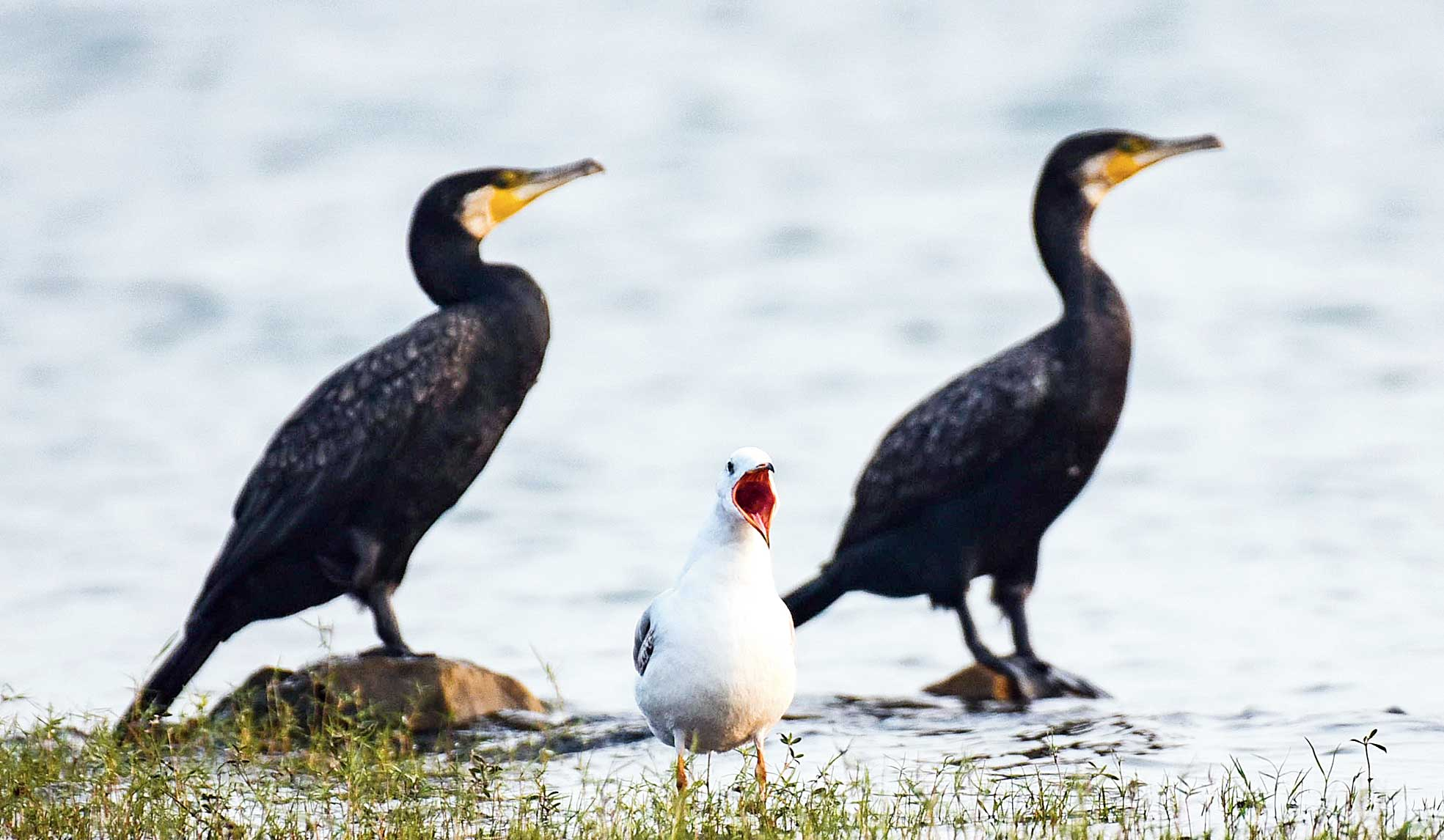 Two greater cormorants keep a ring-billed gull company at Maithon Dam in Dhanbad on Thursday.