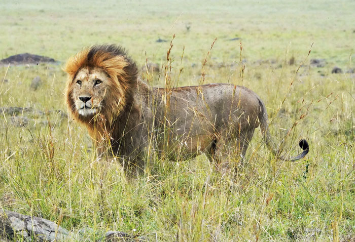 Most male lions live alone, or with another male, and are excellent hunters too