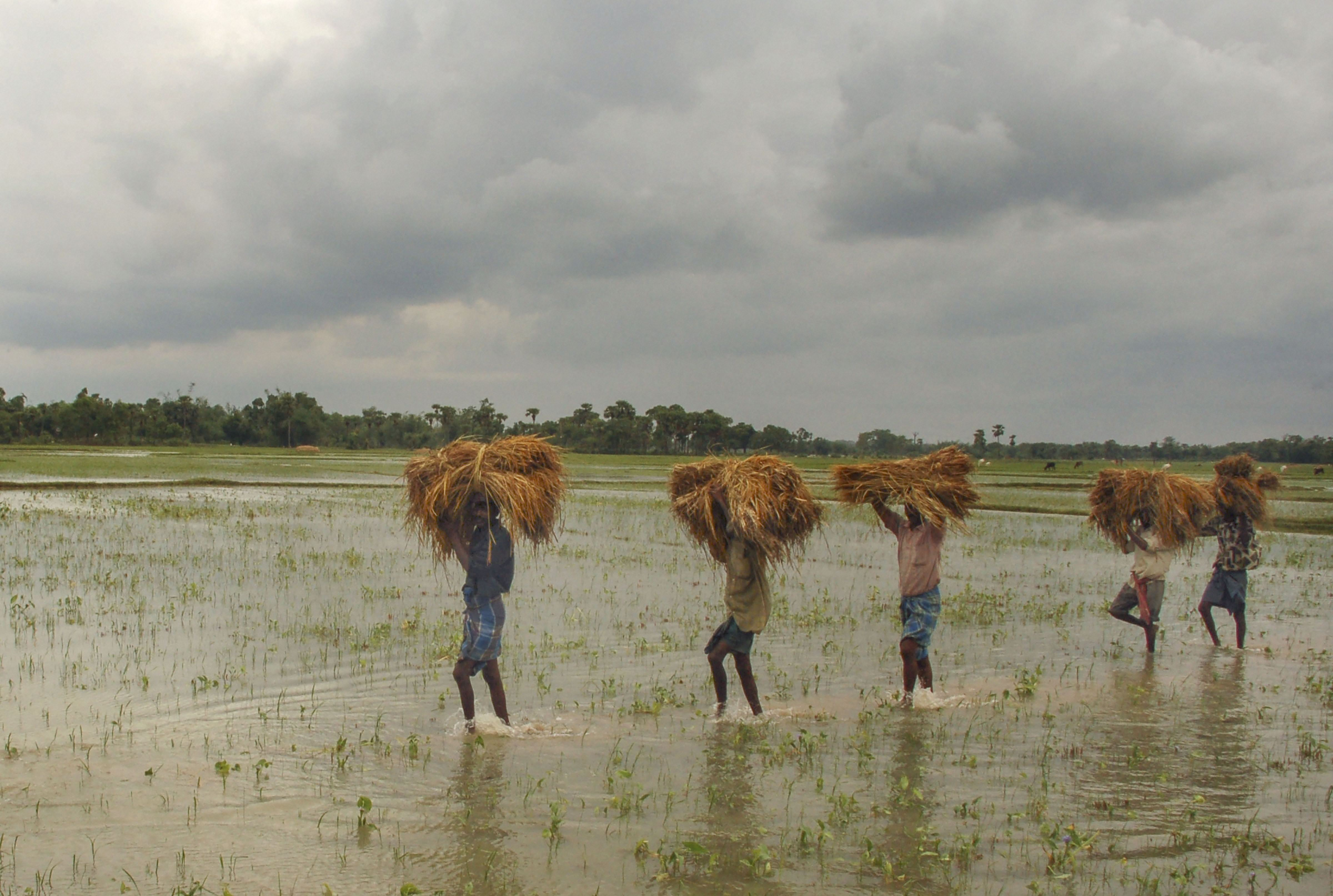 Farmers carry wheat crop as they return to their homes following heavy rainfall induced by Cyclone Amphan, in Birbhum district, Thursday, May 21, 2020.