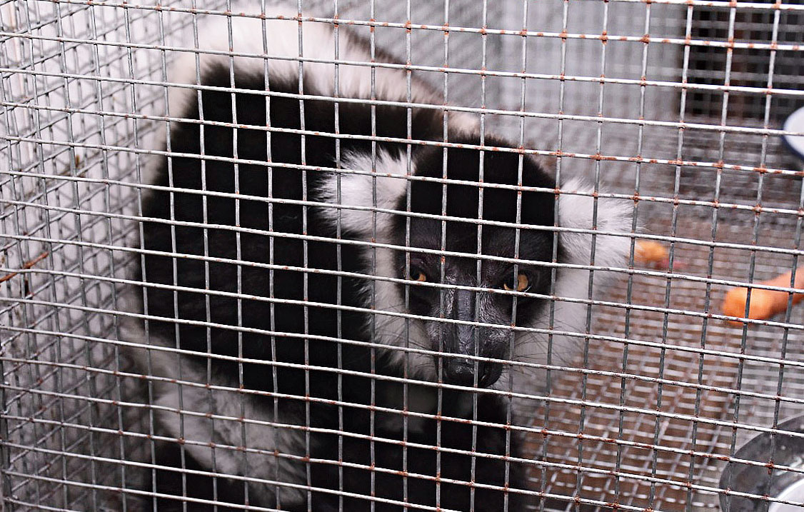 A Black-and-White Ruffed Lemur that was rescued at the airport on Saturday.