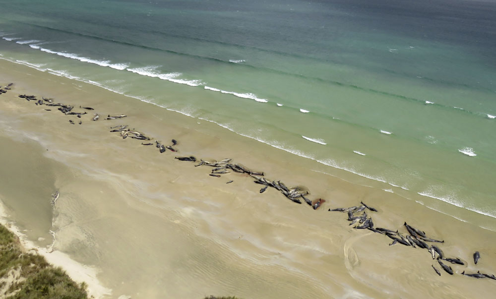 145 pilot whales that died in a mass stranding on a beach on Stewart Island, located south of New Zealand's South Island. They were discovered by a hiker on Saturday, November 24, 2018