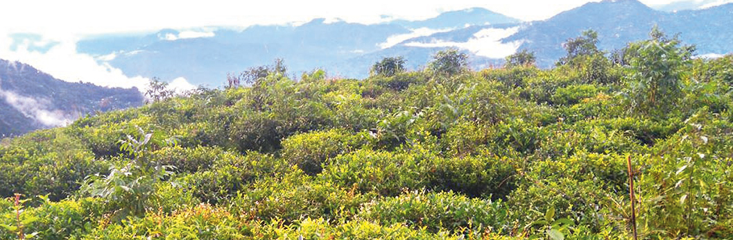 Tinchuley tea garden in Darjeeling. The Darjeeling hills have 87 tea gardens which together have around 70,000 workers.