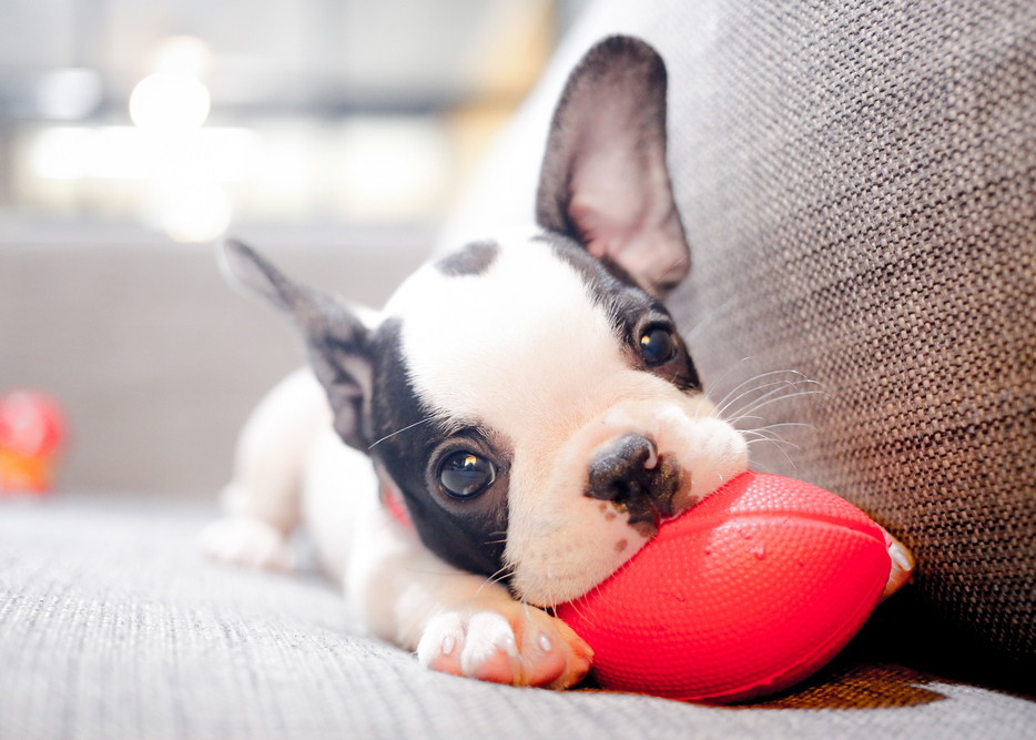 A team of British and Swedish scientists has estimated that the genetic contribution to one's desire to own dogs is more than half — 57 per cent in women and 51 per cent in men— and outweighs the non-genetic or so-called environmental factors.