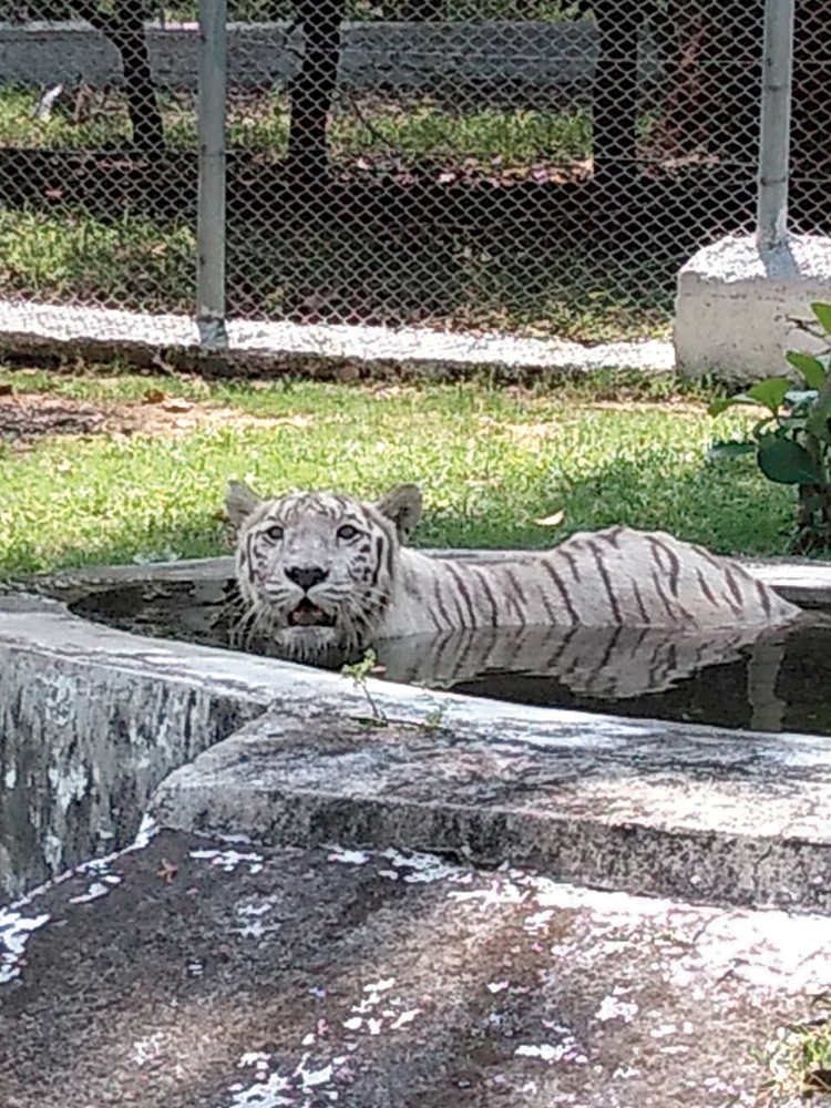 Cool dip: The lone tigress of Jawaharlal Nehru Biological Park in Bokaro lounges in the pool on a hot Sunday.