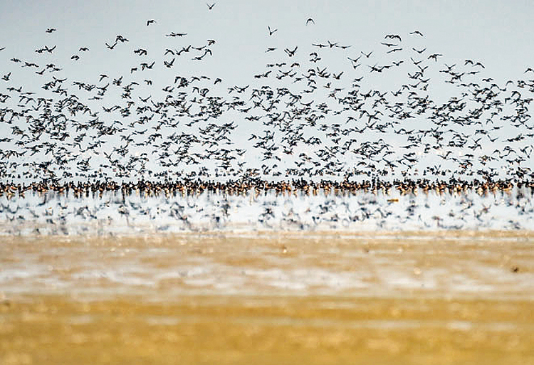 A flock of birds flies above the Sambhar Salt Lake in Rajasthan, on Monday, November 11, 2019. Thousands of birds of various species were found dead at the lake recently under mysterious circumstances