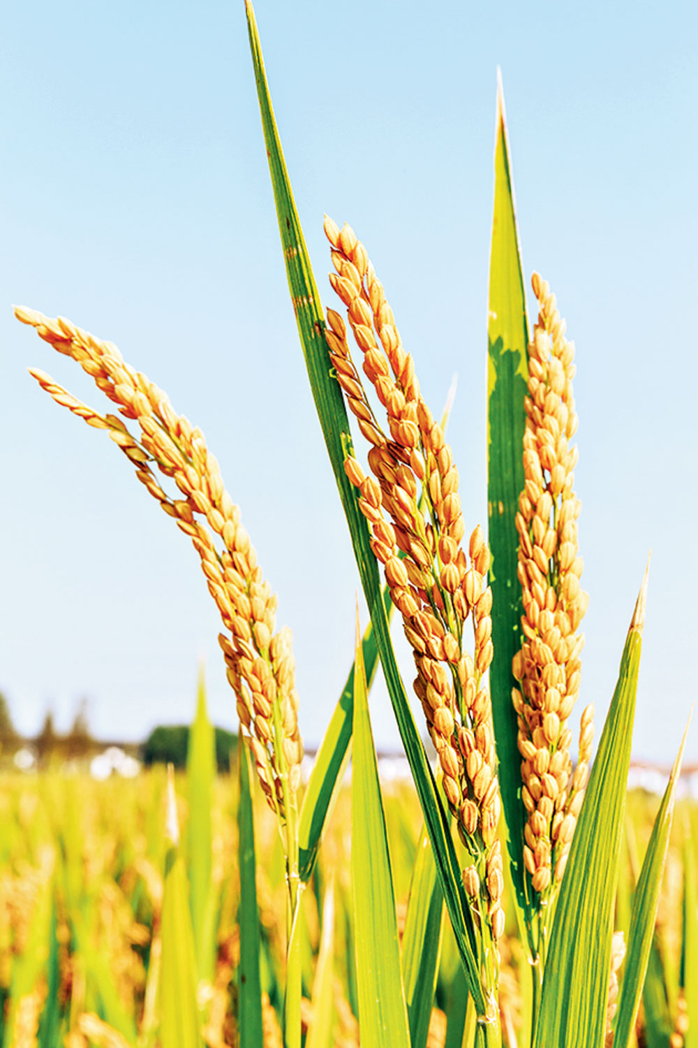 Golden Rice was developed to combat Vitamin A deficiency. But there are simpler dietary alternatives.
