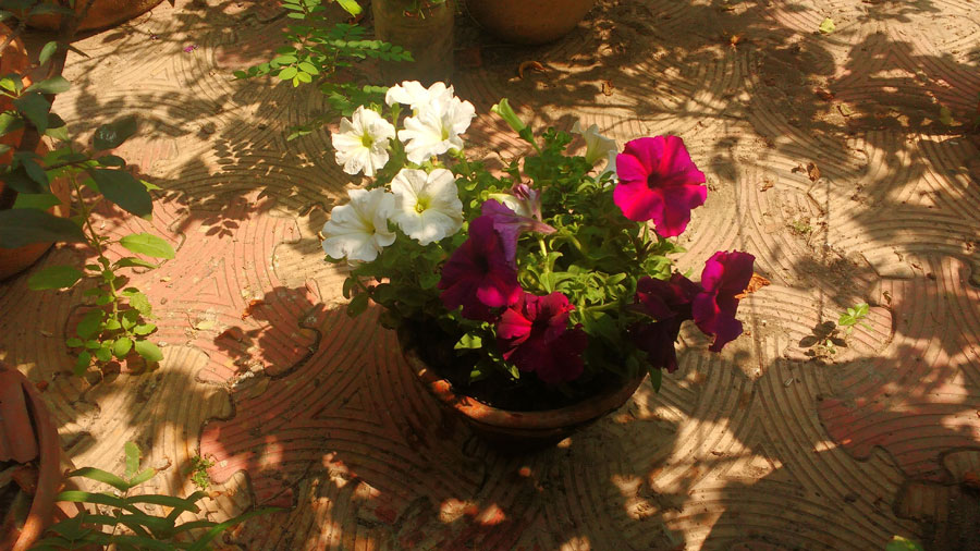 When it comes to Petunias, only fools rush in