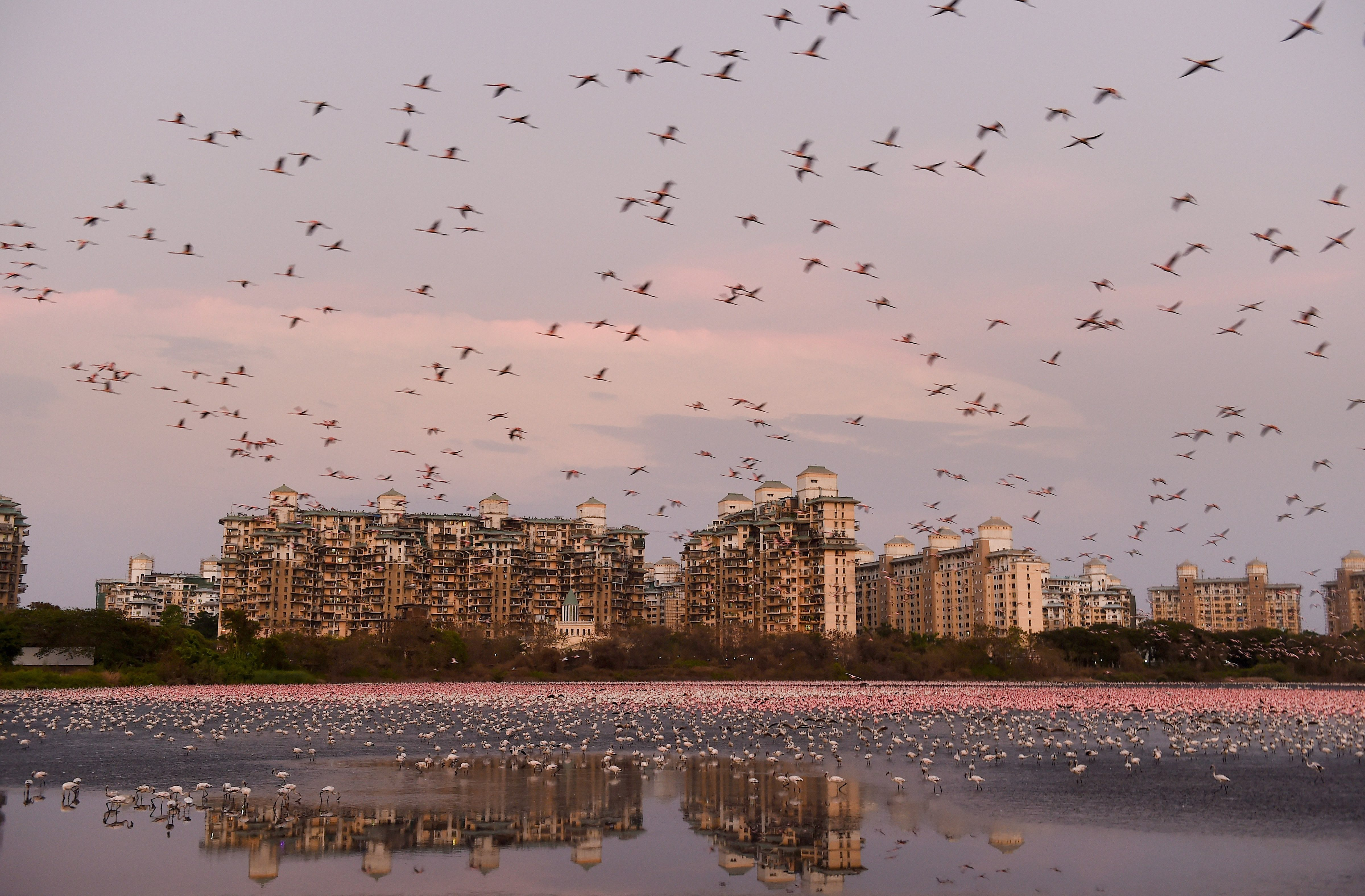 Flamingoes are seen in huge numbers behind NRI colony in Talawe wetland, Nerul, during the nationwide lockdown, in Mumbai, Thursday, May 14, 2020. Maharashtra government has extended the lockdown in the state till May 31, 2020.