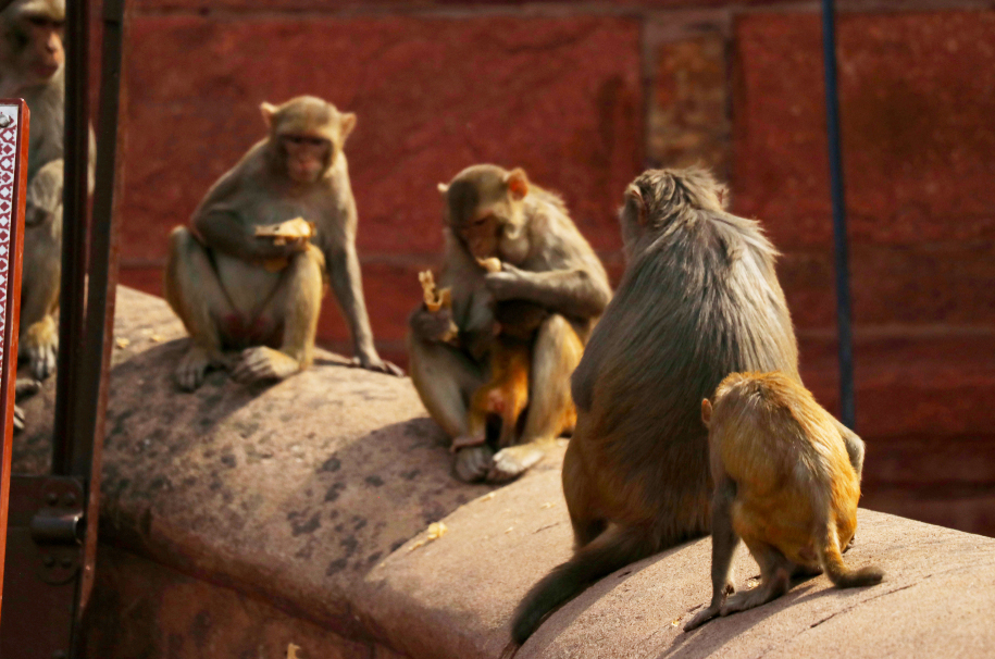 Monkeys at the Agra Fort