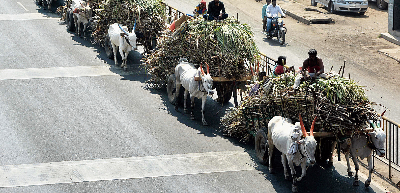 Farmers carry sugarcanes on bullock-carts to a factory in Maharashtra on Friday.