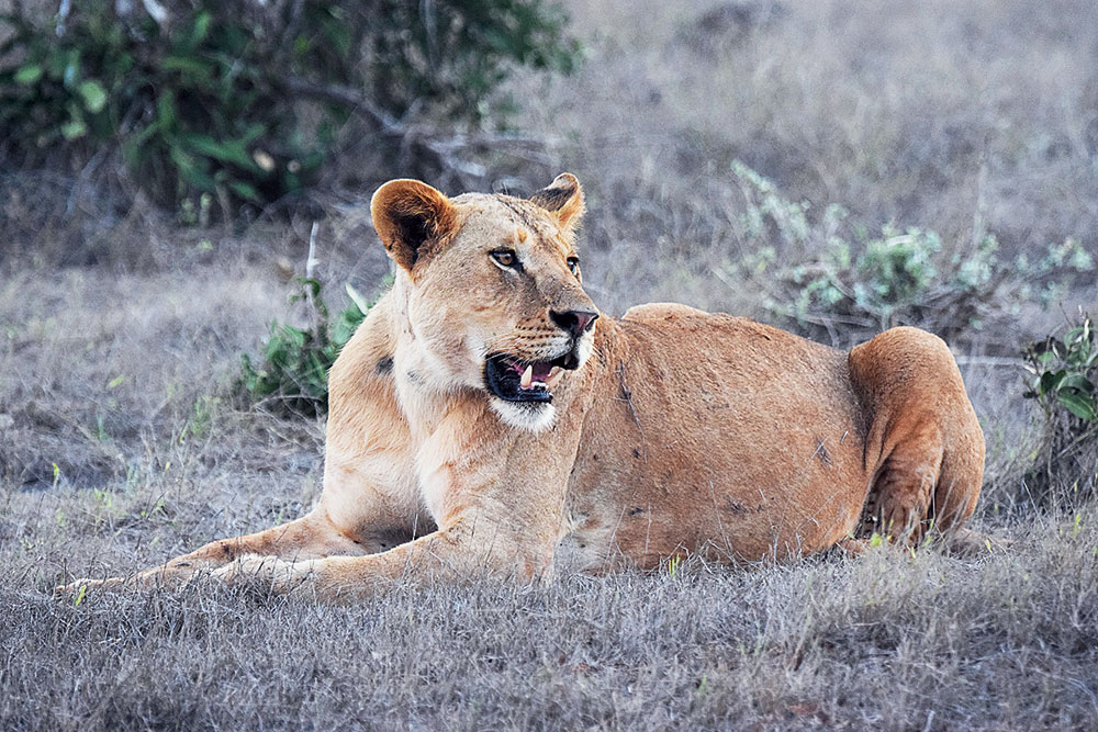 Early morning sighting at Tsavo West. Reminded me of Nala from The Lion King!