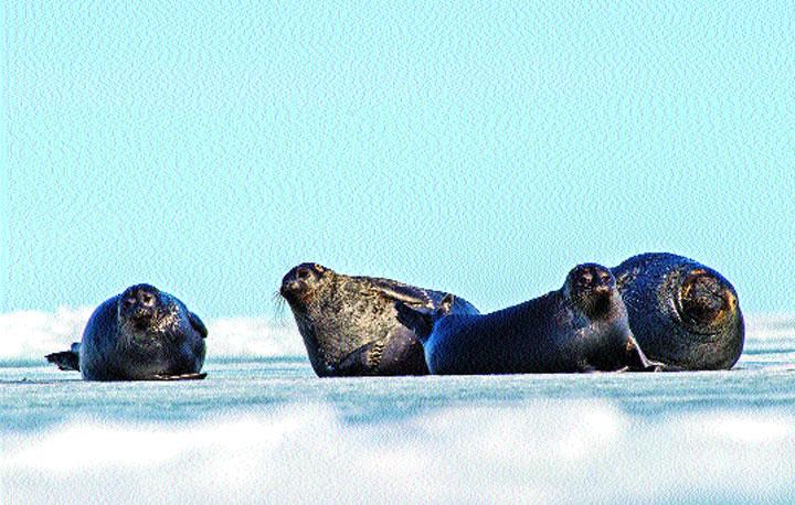 Nerpa seals