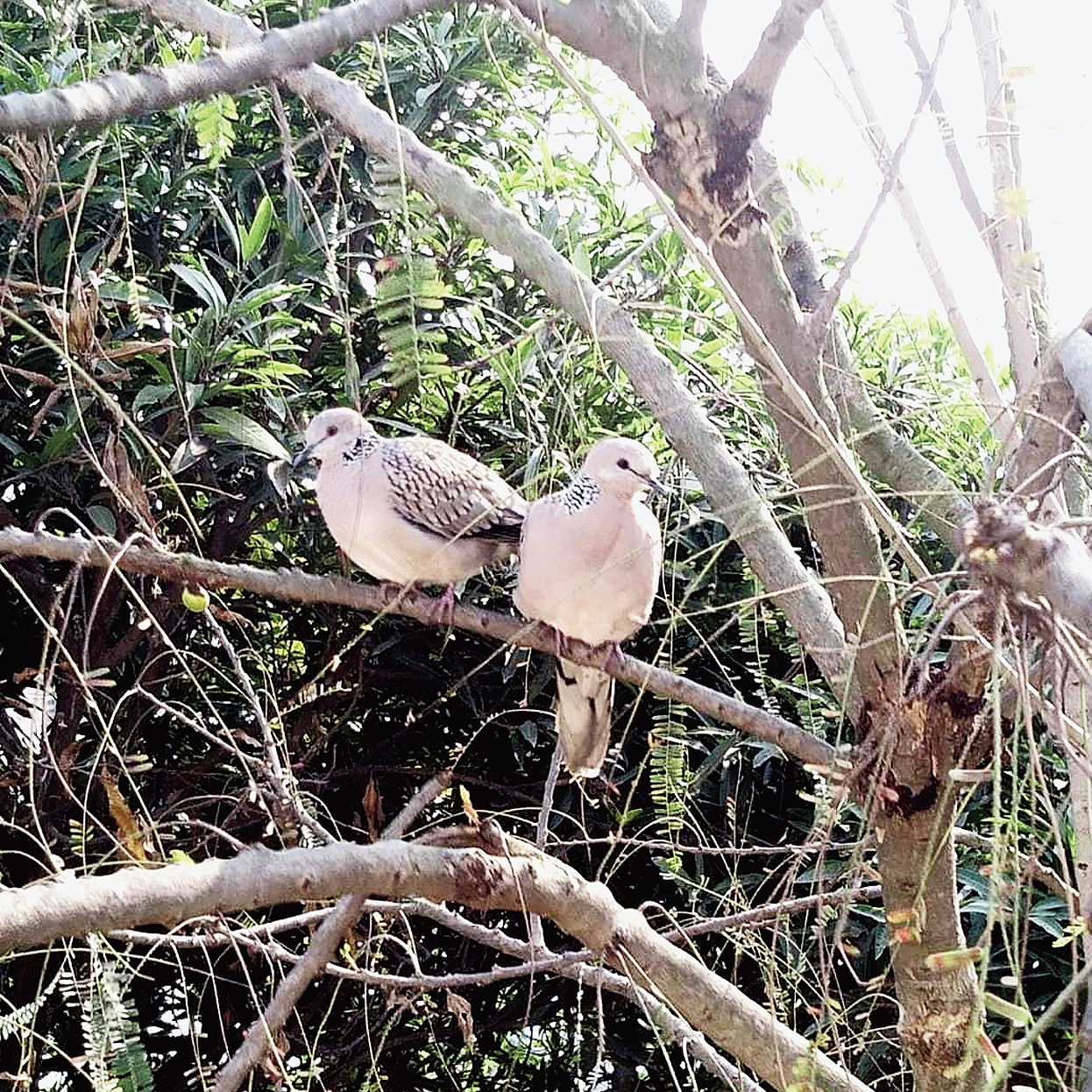 A pair of doves at Maguri Motapung Beel.
