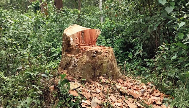 A chopped tree in Digboi forest division.