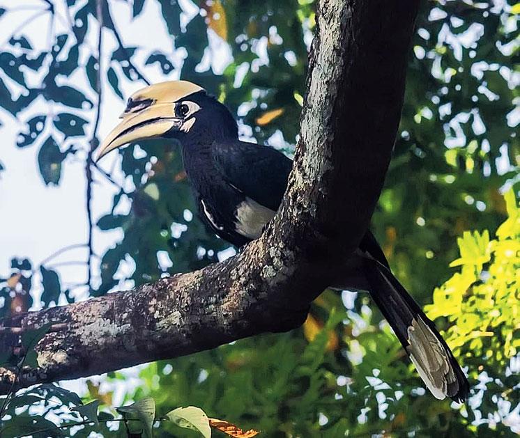 An Oriental pied hornbill at Sepahijala wildlife sanctuary