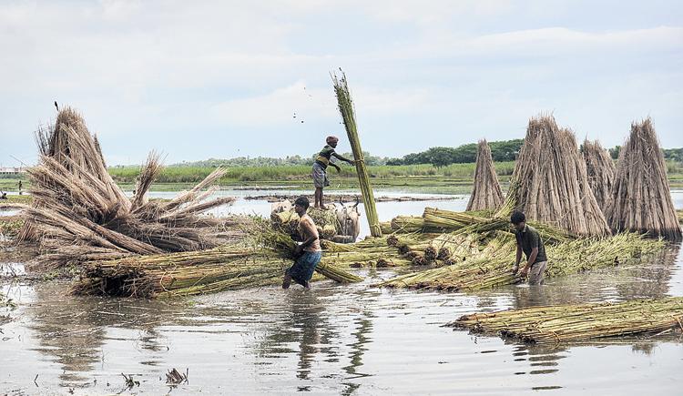 Farmers work in a jute field