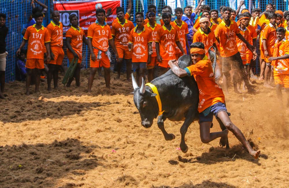 Competitors taking part in the bull taming sport of jallikattu in Tamil Nadu. (image used for representational purpose)
