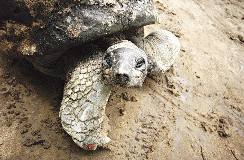 Adwaita, the Aldabra giant tortoise