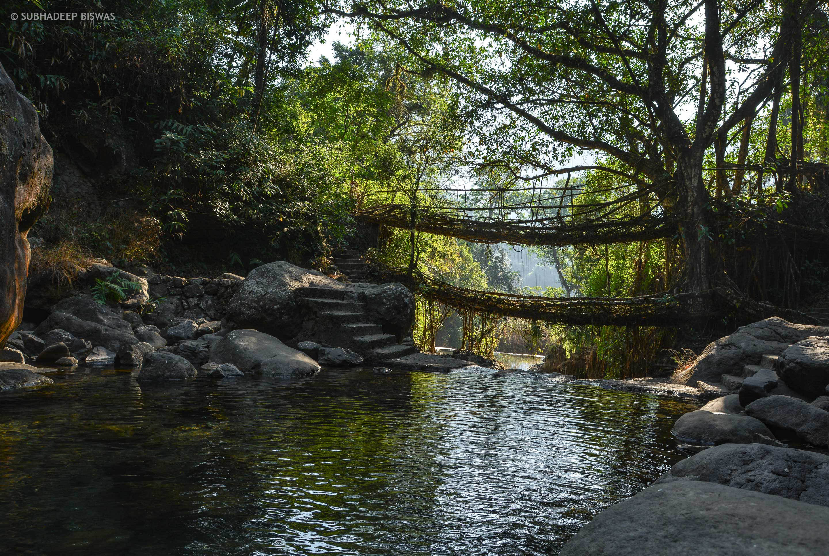 Living root bridges are created by the members of the Khasi tribe