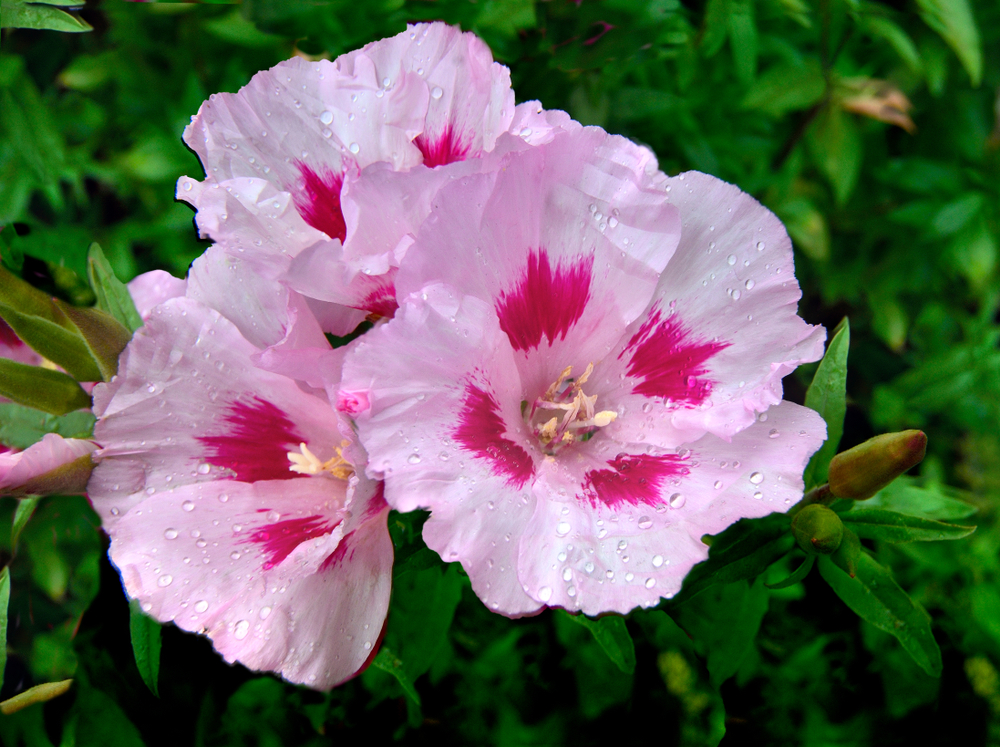 Clarkia:   A hardy annual with slender branches and attractive long spikes of flowers. It can be grown as a pot plant. Place these in a dark corner and you have a bright eye-catcher.